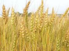growing gluten free oats